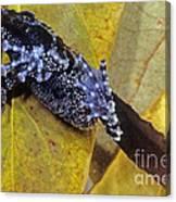 Vietnamese Moss Frog Canvas Print