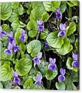 Viola Odorata (sweet Violets) Canvas Print