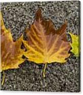 3 Wet Leaves Canvas Print