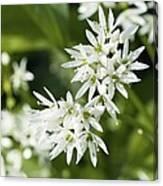Wild Garlic (allium Ursinum) Canvas Print