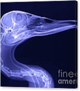 X-ray Of A Mallard Duck Head Canvas Print