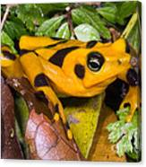 Harlequin Toad Canvas Print