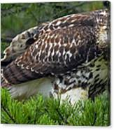 Red-tailed Hawk Canvas Print