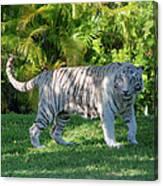 35- White Bengal Tiger Canvas Print