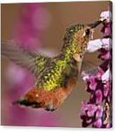 Allens Hummingbird Canvas Print