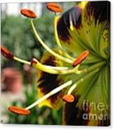 Asiatic Lily Named Black-eyed Cindy Canvas Print