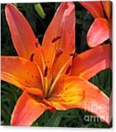 Asiatic Lily Named Gran Paradiso Canvas Print