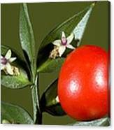 Butcher's Broom (ruscus Aculeatus) Canvas Print
