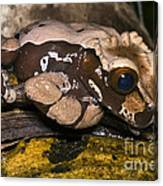 Crowned Tree Frog Canvas Print