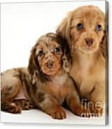 Dachshund Pups Canvas Print
