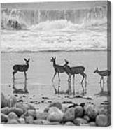 4 Deer In Surf Black And White Canvas Print