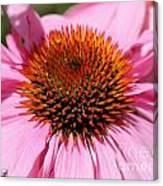 Echinacea Purpurea Or Purple Coneflower Canvas Print