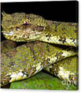 Eyelash Viper Canvas Print
