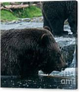 Grizzly Bear Or Brown Bear Canvas Print