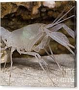Mclanes Cave Crayfish Canvas Print