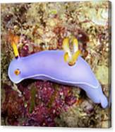 Nudibranch Feeding On Algae, Papua New Canvas Print