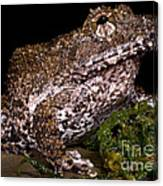 Rusty Robber Frog Canvas Print