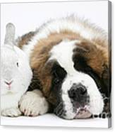 Saint Bernard Puppy With Rabbit Canvas Print