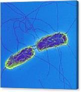 Salmonella Bacteria, Sem Canvas Print