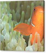 Spinecheek Anemonefish In Anemone Canvas Print