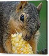 Squirrel Eating Sweet Corn Canvas Print