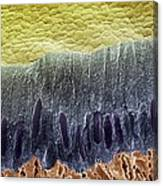 Tooth Enamel Formation, Sem Canvas Print