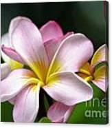 Tropical Frangrapani Canvas Print