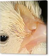 White Leghorn Chick Canvas Print