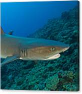 Whitetip Reef Shark, Kimbe Bay, Papua Canvas Print