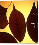 5 Autumn Leaves Canvas Print
