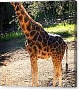 Baringo Giraffe  Canvas Print