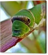 Big Green Caterpillar Canvas Print
