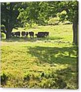 Cows Grazing On Grass In Farm Field Summer Maine Canvas Print