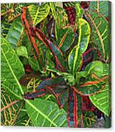 5- Croton Canvas Print