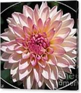 Dahlia Named Valley Porcupine Canvas Print