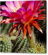 Dark Pink Cactus Flower Canvas Print
