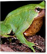 Darwins Frog Canvas Print