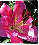 Dwarf Oriental Lily Named Farolito Canvas Print