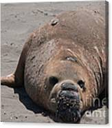 Elephant Seal Colony On Big Sur  Canvas Print