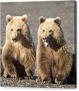 Grizzly Bear Ursus Arctos Horribilis Canvas Print