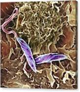 Macrophage Attacking A Foreign Body, Sem Canvas Print