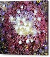 Spiny Sunstar Canvas Print