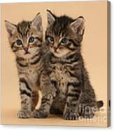 Tabby Kittens Canvas Print