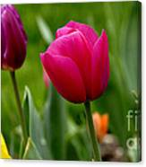 Tulip Garden University Of Pittsburgh  Canvas Print