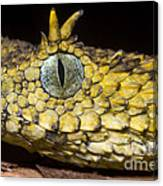 Usambara Eyelash Bush Viper Canvas Print