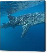 Whale Shark Canvas Print