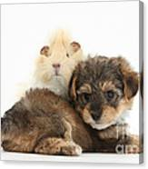 Yorkipoo Pup With Guinea Pig Canvas Print