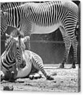 Zebras In Black And White Canvas Print