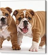 Bulldog Puppies Canvas Print