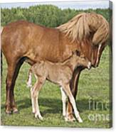 Chestnut Icelandic Horse With Newborn Foal Canvas Print